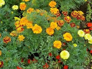 Цветы Петуния  бархатцы Кохия - Изображение #2, Объявление #1025452