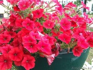 Цветы Петуния  бархатцы Кохия - Изображение #1, Объявление #1025452