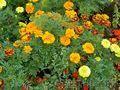 Цветы Петуния  бархатцы Кохия